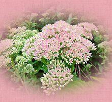 Pink Flowering Sedum by MotherNature