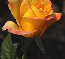 Apricot Gold Rose by Geoffrey Higges