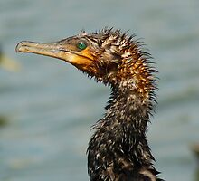 Old Great Cormorant by Kenneth Caleno