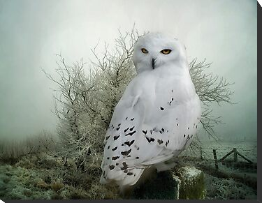 Snowy Owl by Tarrby