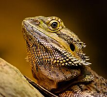 Central Bearded Dragon by Ben Cordia