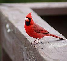 Mr, Cardinal by Rick  Friedle