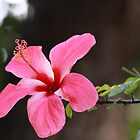 Hibiscus rosa-senensis Linn. by JhaMesPhotos