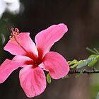 Hibiscus rosa-senensis Linn. by JhaMesPhotos