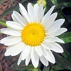 A ordinary Daisy by anchorsofhope