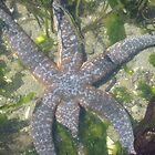 Starfish by EvansKelly
