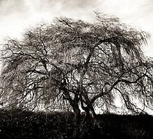 Willow Tree © by Ethna Gillespie