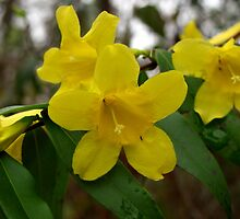 Carolina Jasmine-Wild by Michele Larrow