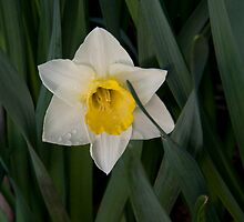 Daffodil Tears by Rod J Wood