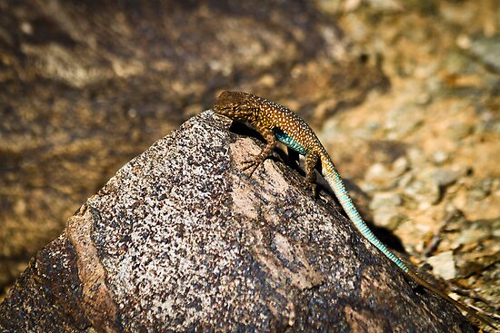 Side-Blotched Lizard in the Phoenix Mountains by cavaroc