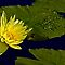 Yellow Waterlily, Green Leaves, Blue Water by cclaude