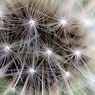 Dandelion by Falko Follert