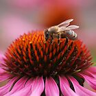 Bee on Cone Flower. by John Sharp