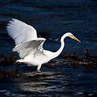 Great White Heron by albino