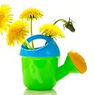 Dandelions yellow in a children's watering can. by larisa  fedotova
