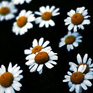 Daisy heads on black.  by Billlee