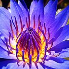 My Glorious Purple Water Lily by AlyZen