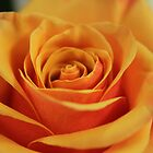 Layers of a Rose by elm321