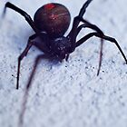 Redback Close Up by Daniel Carr