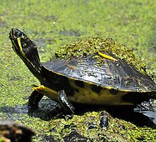 Slider Turtle In The Cypress Swamps by Kathy Baccari