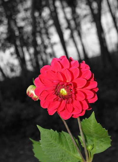 Andreas Red Dahlia by Sandra Foster