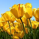 Tulips by tinathorn