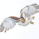 Hawk on white by Daniel  Parent