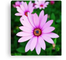 Violet daisy Canvas Print