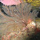 Fan Coral by springs
