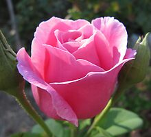 """So Perfect & Pretty! 'Perfume Delight rose"""" early morning. by Rita Blom"""