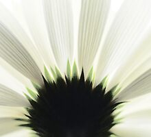 Living room mural Gerbera flower 3 by Falko Follert
