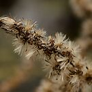 Dry flower  by vasu