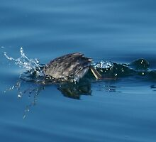 Diving Duck in Action by EvansKelly