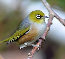 Silvereye. Gore, South Island, New Zealand by Ralph de Zilva