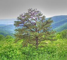 Tree on Overlook by James Brotherton