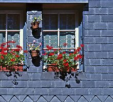 Geraniums, Slate wall by cclaude