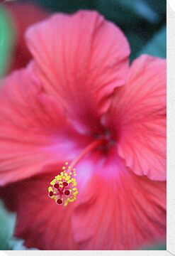 Pink Hibiscus by Thomas Murphy