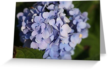 Hydrangeas by Thomas Murphy