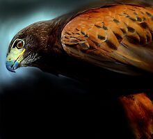 Harris Hawk portrait by Alan Mattison