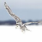 Horizon - Snowy Owl by Jim Cumming