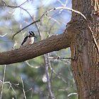 Woodpecker by Dallas Kempfle
