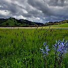 In All It's Beauty ~ Wild Camas ~ by Charles & Patricia   Harkins ~ Picture Oregon