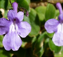 Shy and not so shy - the Nodding Violet by Trish Meyer
