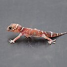 Thick-tailed Gecko by Ian Berry
