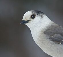 Grey Jay Portrait by Wayne Wood