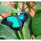 Ulysses butterfly  by bluetaipan