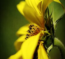 The Littlest Sunflower of the Season by Clare Colins