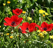 Happy Poppies by Nira Dabush