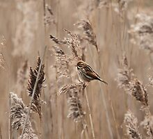 Female Reed Bunting in the reeds by Ian Marshall
