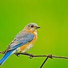 Female Eastern Bluebird by Daniel  Parent